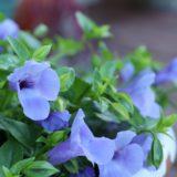 スーパートレニア・カタリーナの育て方|綺麗に花を咲かせる4つのコツとは?
