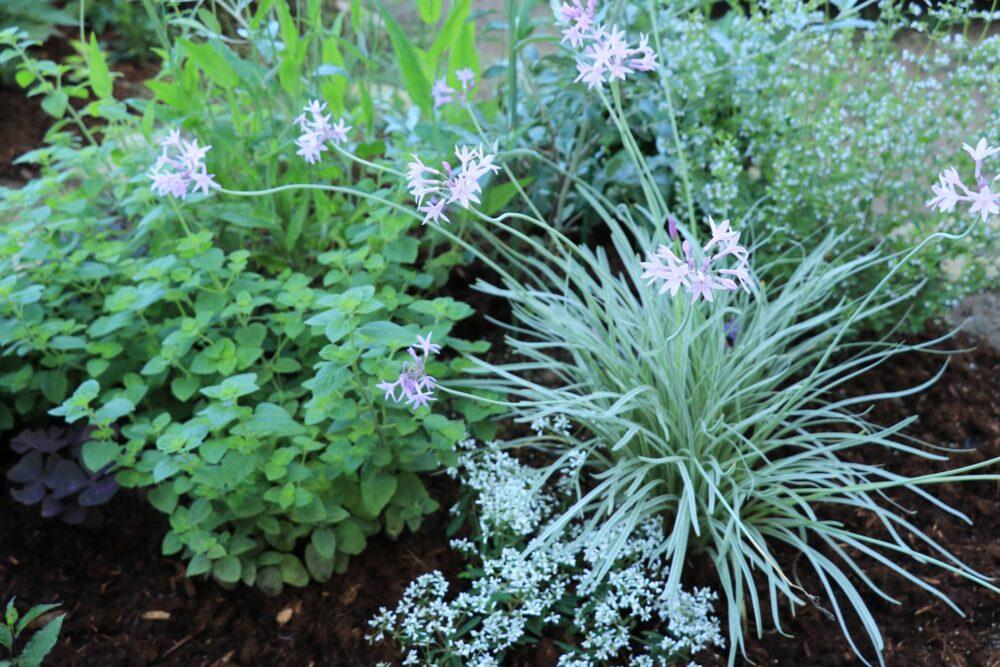 花壇のツルバキア・シルバーレース